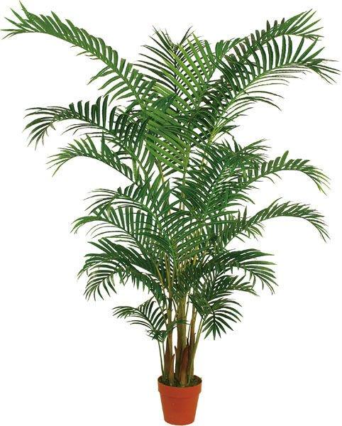 Areca palmera bamb dypsis lutescens for Plantas de interior tipo palmera