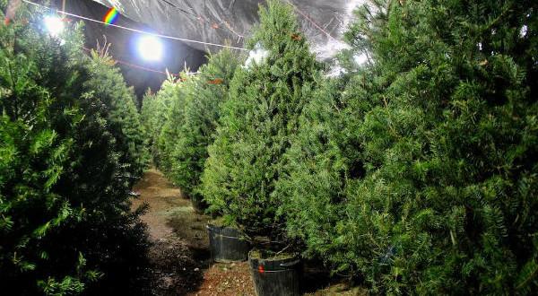 Consejos sobre su árbol de Navidad