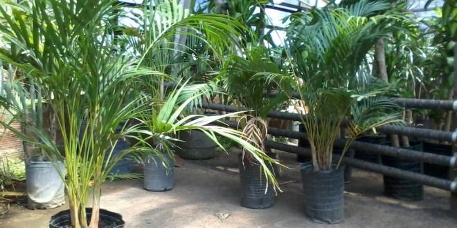 Areca: una planta de interior de la familia de las Palmáceas, que se adapta bien en zonas de interior.