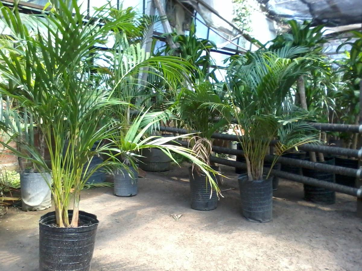 Areca una planta de interior de la familia de las - Planta interior palmera ...