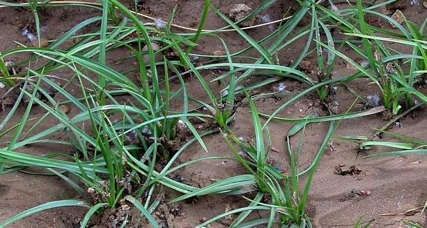 Resistencia de malas hierbas a herbicidas