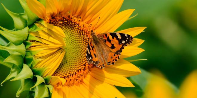 Las flores polinizadas por insectos tienen una fragancia más fuerte