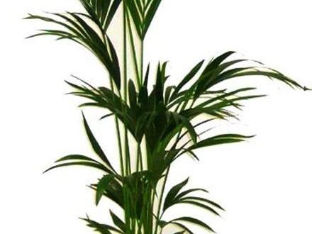 Kentia : Originaria de Oceanía, la Kentia es un palmera perteneciente a la familia de las Arecaceae