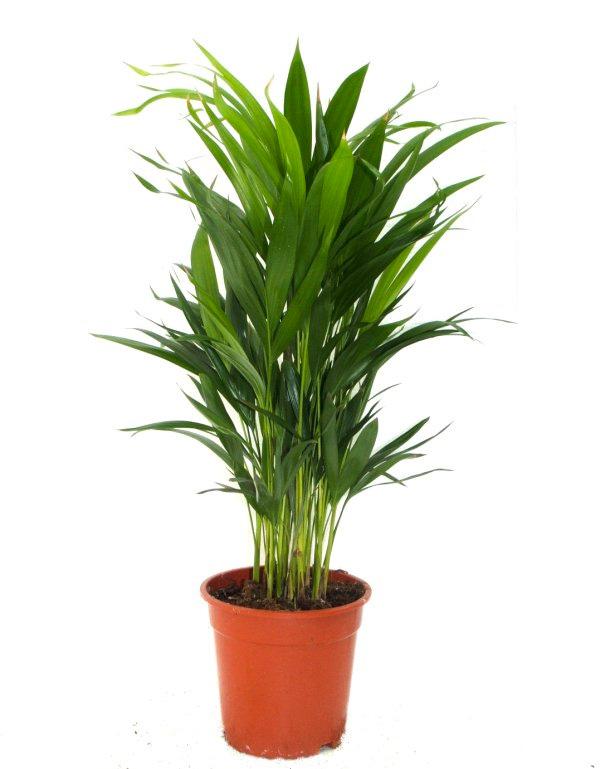 Areca una planta de interior de la familia de las for Plantas de invierno para interior