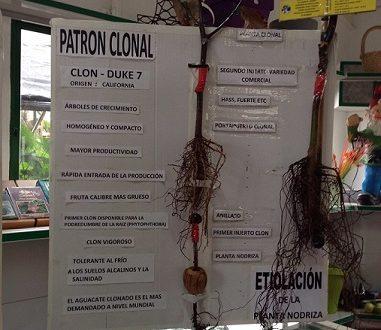 Un Asociado de ASOCAN, reconocido oficialmente como primer productor de planta clonada de aguacates en Canarias.