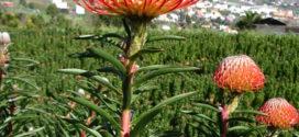 La limitada oferta de la floricultura isleña impide satisfacer toda la demanda europea