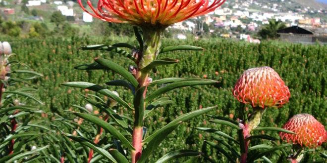 ASOCAN se trae de Sudáfrica la organización del próximo Simposio Internacional de Proteas