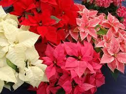 La llegada de las flores de pascua dan paso a la Navidad