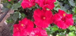 En busca del hibiscus más bello