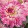 La Dahlia Sincerity de Syngenta Flowers gana el premio Fleuro Star 2020