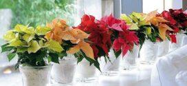 Decora esta Navidad con Flores de Pascua