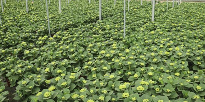 Primavera de esperanza para los productores de flor y planta ornamental