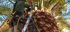 Evalúan el estado fitosanitario de los palmerales para mejorar su resistencia a las plagas y la sequía