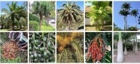 Beneficios ornamentales y culinarios de las palmeras